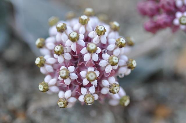 Asclepias solanoana (Serpentine Milkweed)