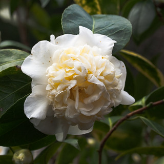 A camellia hybrid, created by John Wang, has a rare yellow tint | by panchul
