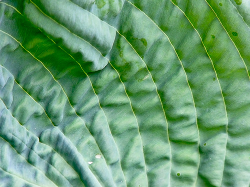 Hosta Leaf Texture | by wolfnowl