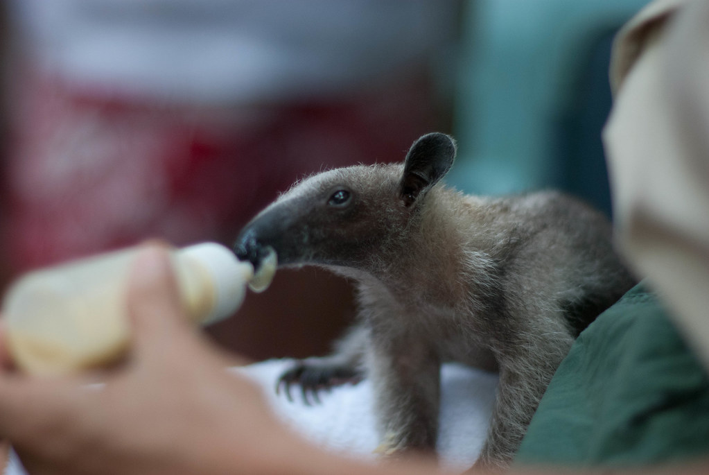 baby ant eater images