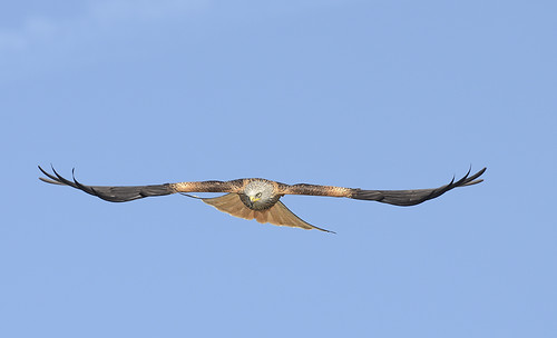 Stealth Red Kite | by Photo Crazy Rob