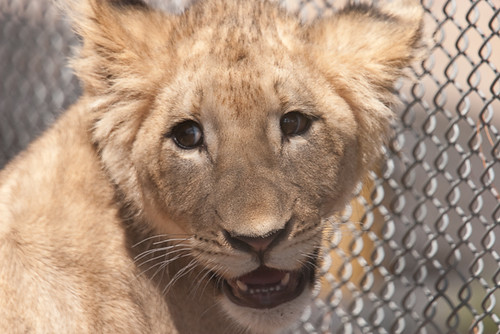 Capron Zoo Lion Cub | by Catcher Of Dreams