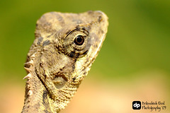 Garden Lizard | by get_debashish