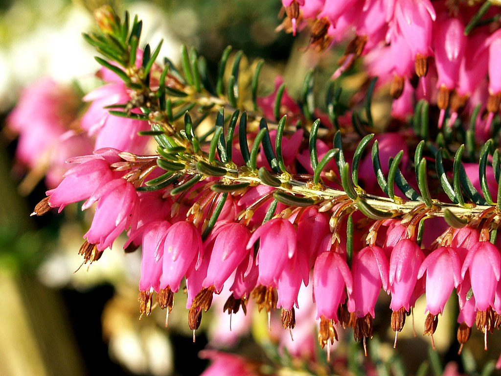 Early Spring Flowers Of A Red Winter Heather This Plant E Flickr