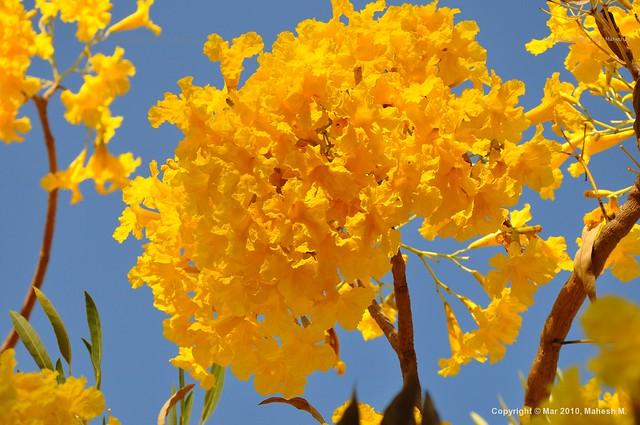 Vibrant yellow spring flowers explored beautiful bright flickr vibrant yellow spring flowers explored by mahesh m india mightylinksfo