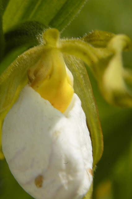 Cypripedium candidum WHITE LADY'S SLIPPER