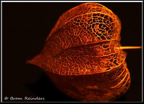 physalis alkekengi de chinese lampion bram reinders bram reinders flickr. Black Bedroom Furniture Sets. Home Design Ideas