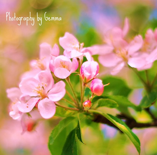 Apple Blossom | by ♥ Little Gems ♥