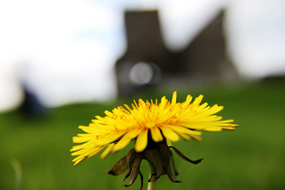 yellow flower - Devenish island | by AdColD