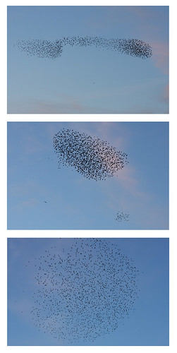 Starlings | by benwmbc