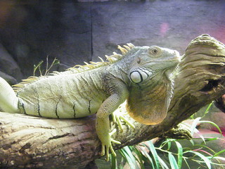 Green iguana @Melbourne Zoo | by zayzayem