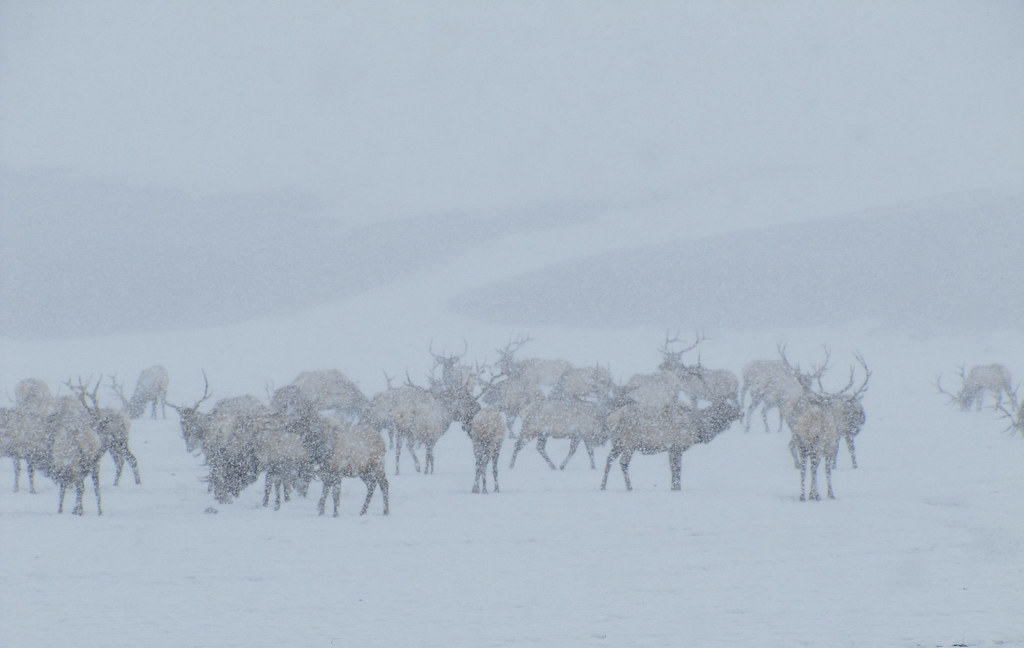 Elk in Snow Storm