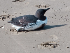 Common Murre, oil-stained bird in distress 15 May 2009 Morro Strand | by mikebaird