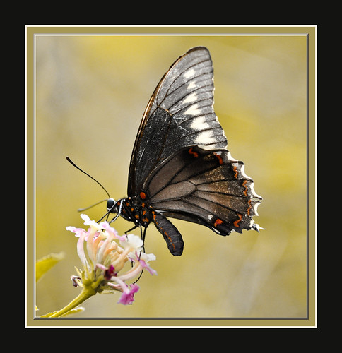 Black Swallowtail 2 | by davolly59