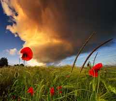 Red Poppies And A Dramatic Sunset Sky | by Philipp Klinger Photography
