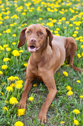 Vizsla Dog in Dandelions | by Brian Guest (giant rebus)