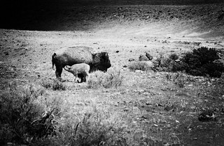 Bison Babe | by road triper