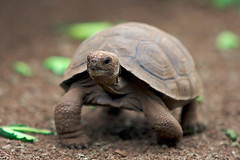 Baby Giant Tortoise at the Charles Darwin Research Station | by lightmatter