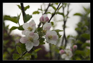 Apple Blossoms ~ Project 365/124 | by Echo9er