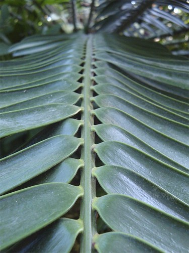 Encephalartos natalensis - RBG Edinburgh | by James's GW Blog