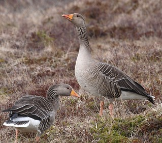 Greylag Goose 11 (grágæs) | by Svenni and his Icelandic birds.