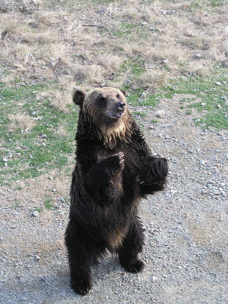 asiatic black bear 野生の熊はこの時期は冬眠してるんですけどね