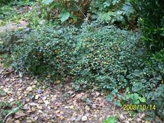 Cotoneaster procumbens 39 queen of carpets 39 cotoneaster - Cotoneaster procumbens queen of carpets ...