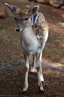 Fallow Deer | by WilliamBullimore