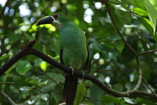 Emerald Toucanet (Aulacorhynchus prasinus) | by Alonso Quevedo Gil
