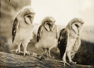 Half-grown Barn Owls | by OSU Special Collections & Archives : Commons
