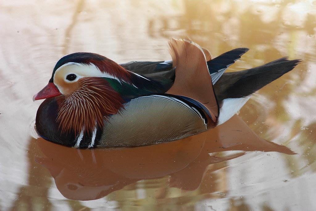 marreco mandarim joão batista peres júnior flickr
