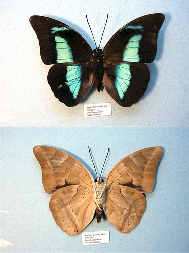 NW81-9 Archaeoprepona demophon | by nymsysgro