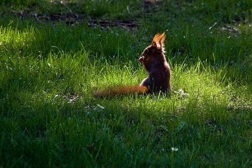 German Squirrel in the Spotlight | by J e n s