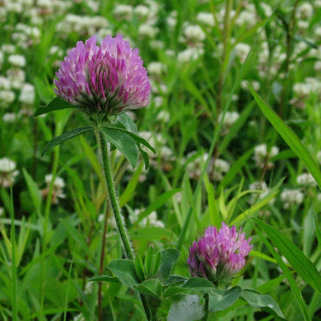 Purple Clover Flowers Possibly Red Clover Trifolium Prate Flickr
