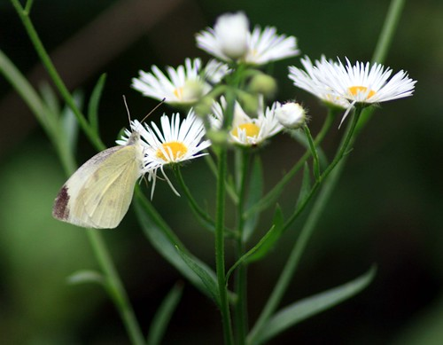 white butterfly on daisy 18Jun2009 | by Megh.England