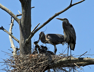 Great Blue Heron family | by Laura Erickson