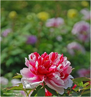 Spring Peony Patch | by Don Iannone