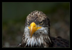 Raptor                                                                     He looks kind of angry!? | by David Hannah