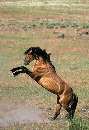 Rearing Stallion 010603 This Is A Dominant Wild Kiger