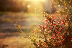 red sunlit leaves backlit by the setting sun | by forevergivenlove