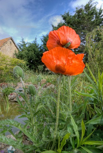 big red Popies in the garden france _DSC2054 Photomatix DE 2 RS | by Seven Pillars Lord Abbaddon
