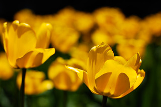 yellow tulips 2009 | by bittersweet.photography