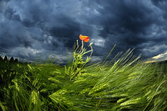 Mohn + Gewitterstimmung | by jr-teams.com - Photo