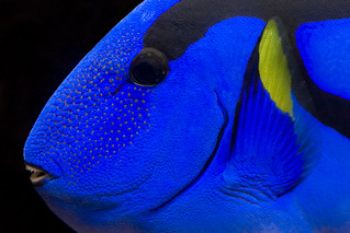 Majestic Blue - Regal Tang | by *peridot*