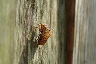 Cicada Skin On Our Fence | by Blue Yonder