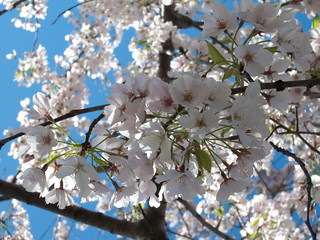 Yoshino Cherry Tree Blossoms | by cliff1066™