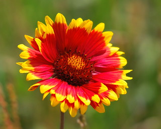 Indian Blanket | by Greg7