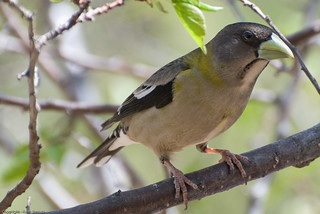Evening Grosbeak | by Keefee