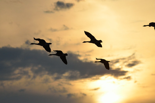 Geese in the Sunsets DSC_7737 | by Mully410 * Images