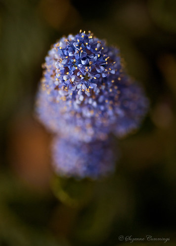Lavender Blue | by SLEEC Photos/Suzanne